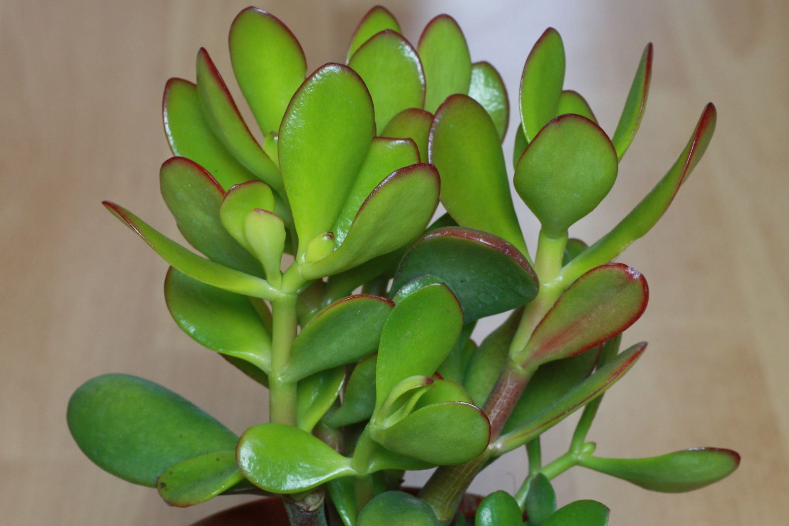 Crassula ovata Hummels Sunset