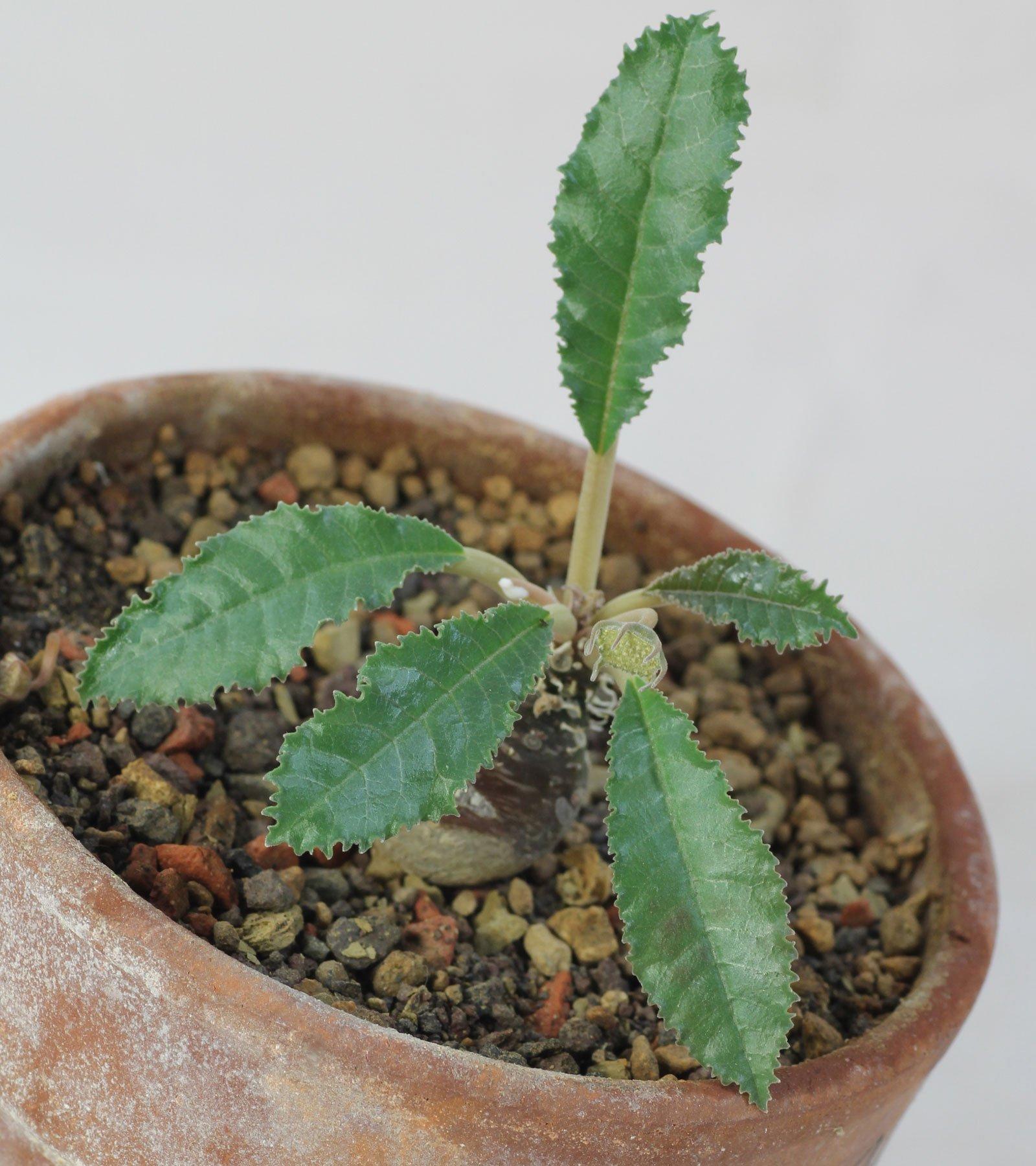 Dorstenia crispa