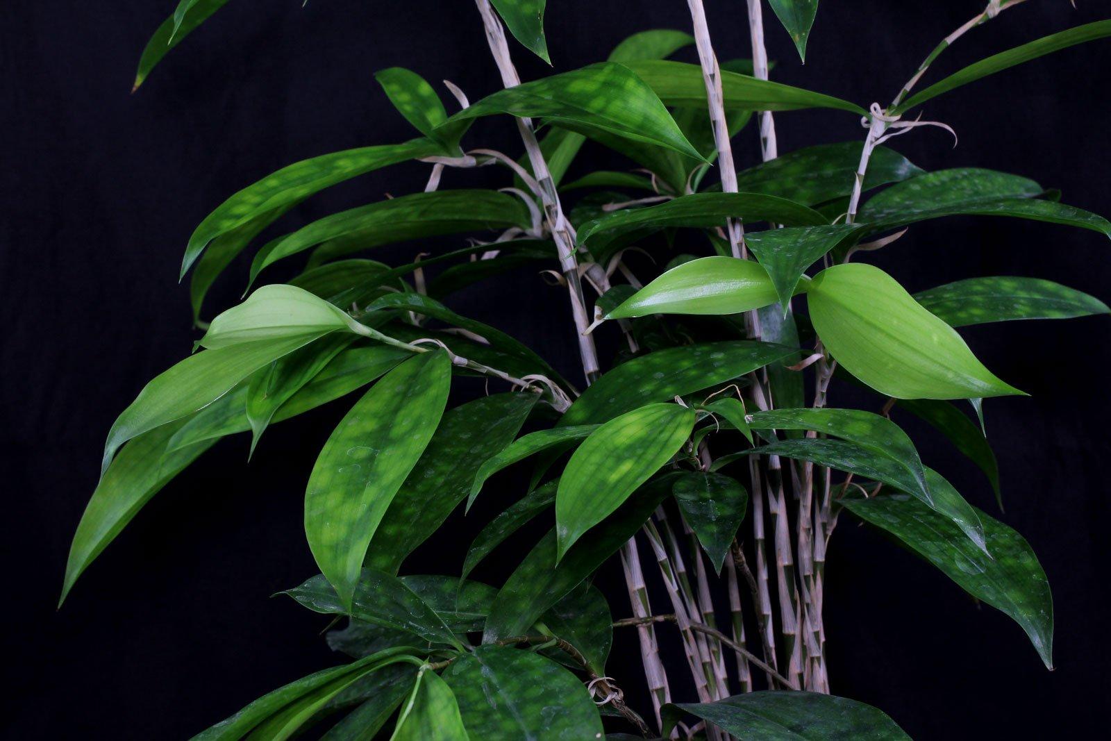 Drachenbaum Blätter