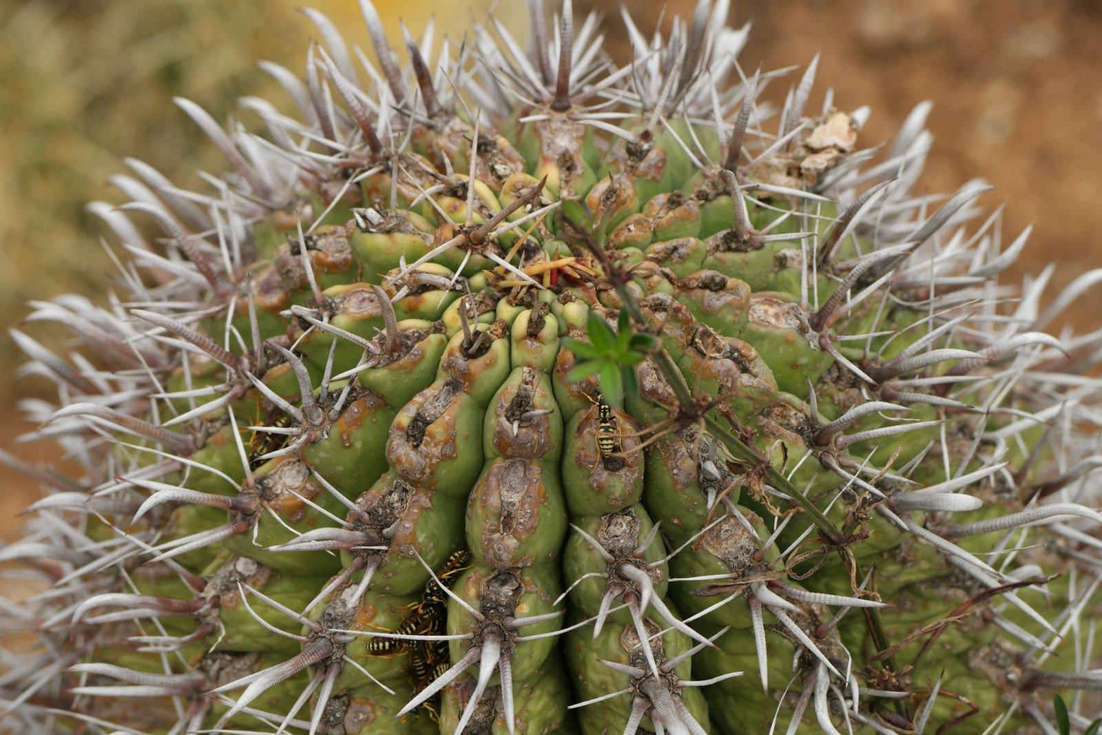 Ferocactus latispinus ssp spiralis