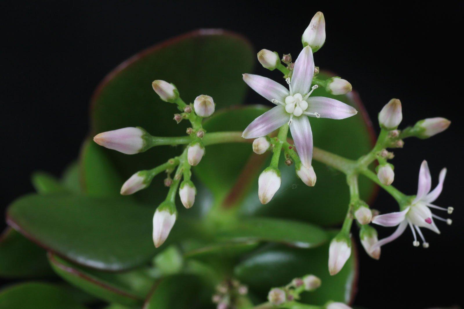 Geldbaum Blüten