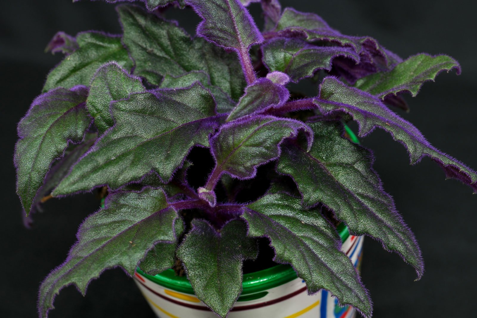 Samtpflanze Gynura Aurantiaca