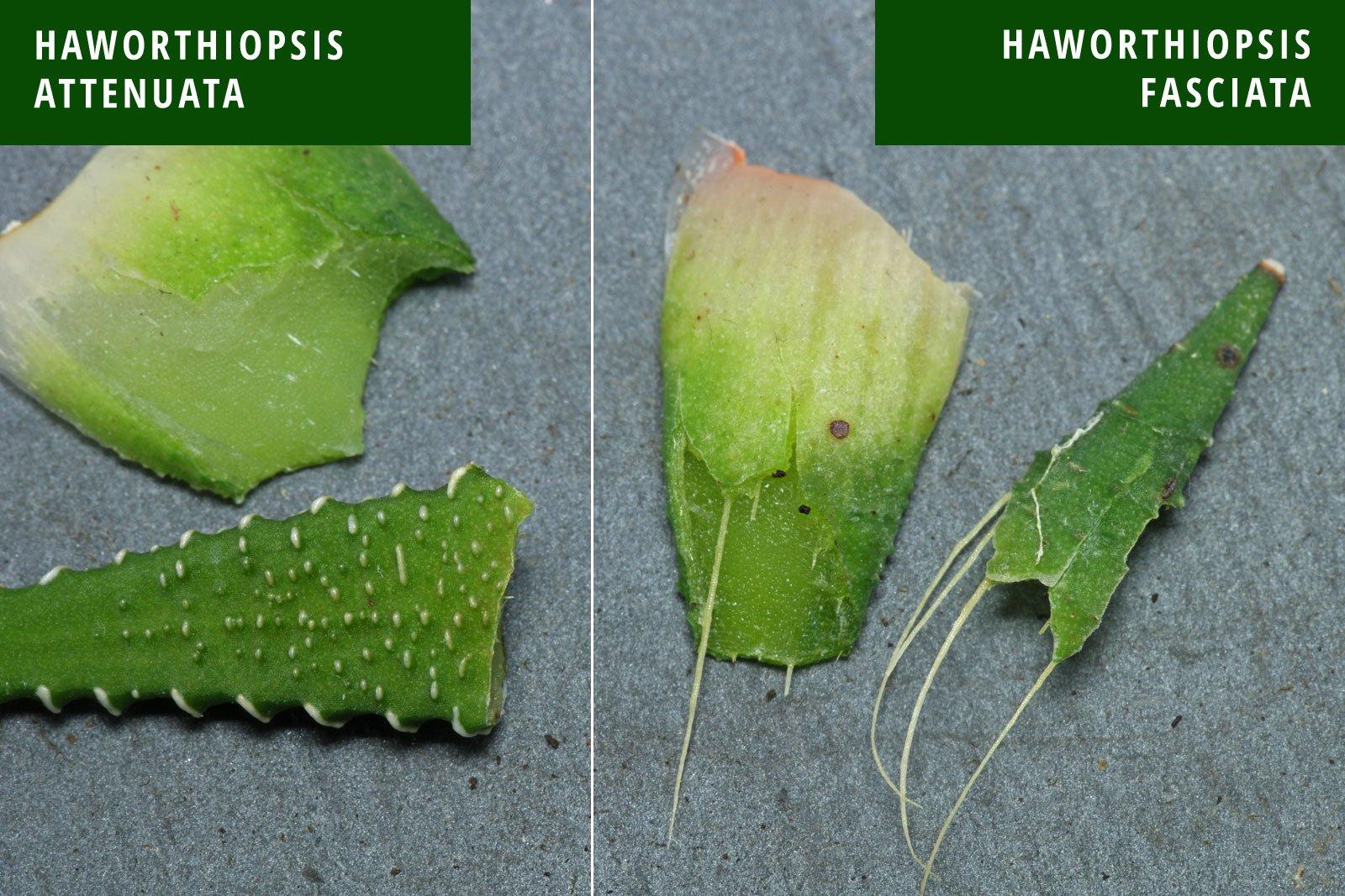 Haworthiopsis Haworthia attenuata fasciata