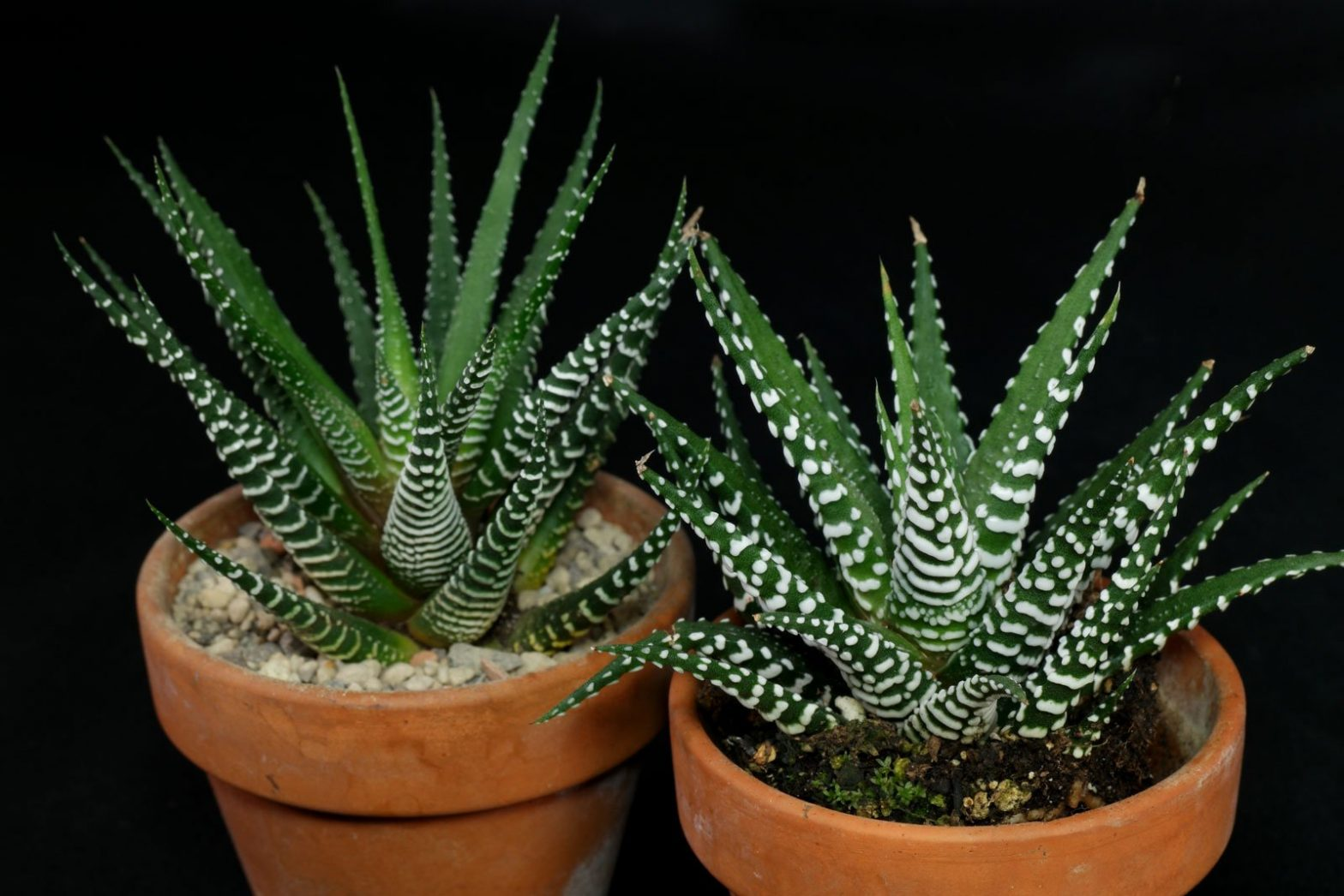 Haworthiopsis (Haworthia) attenuata Big Band