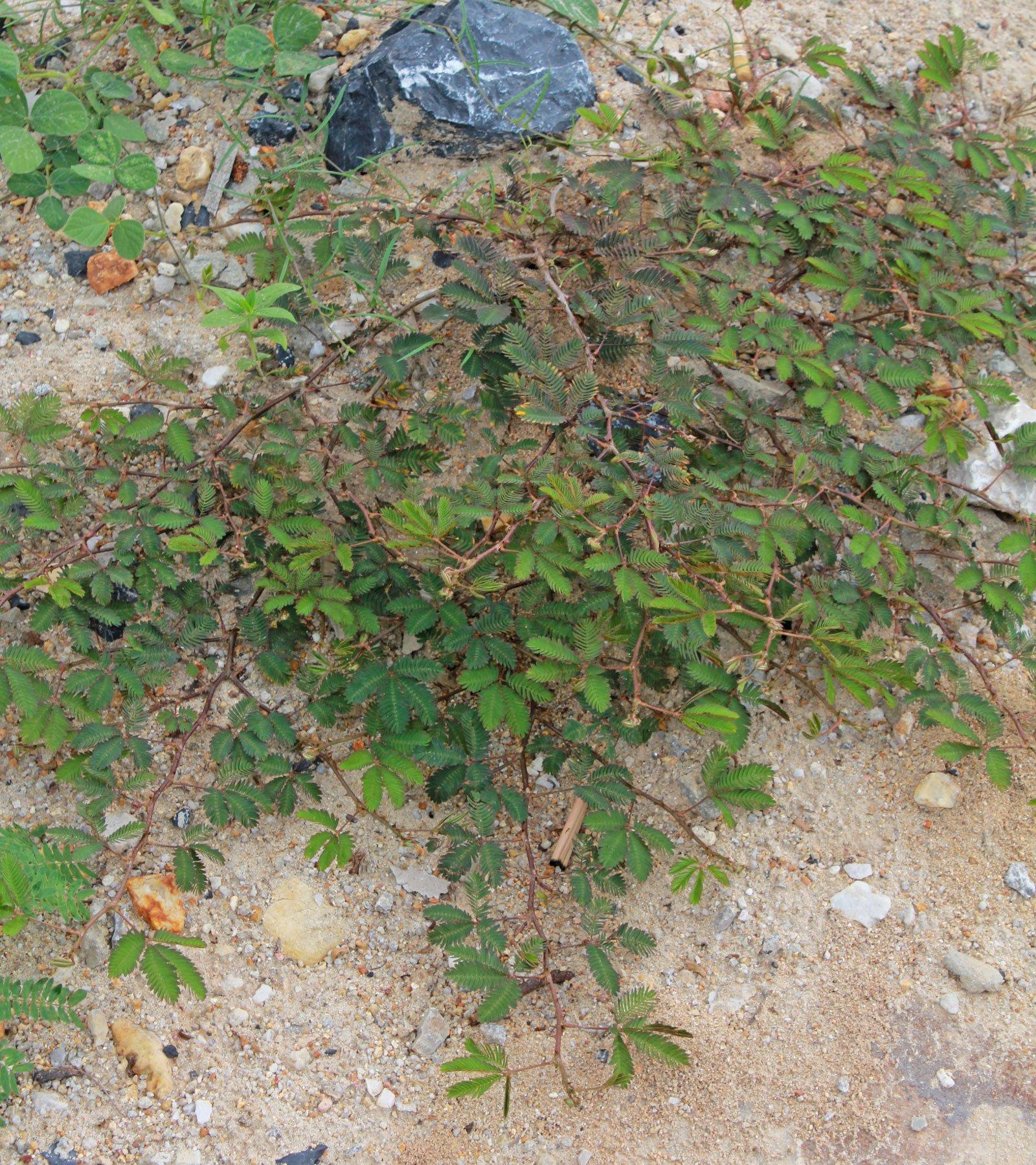 Mimose Thailand