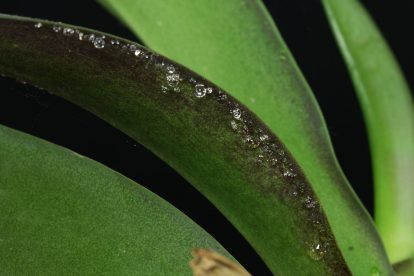 Orchidee Wassertröpfchen