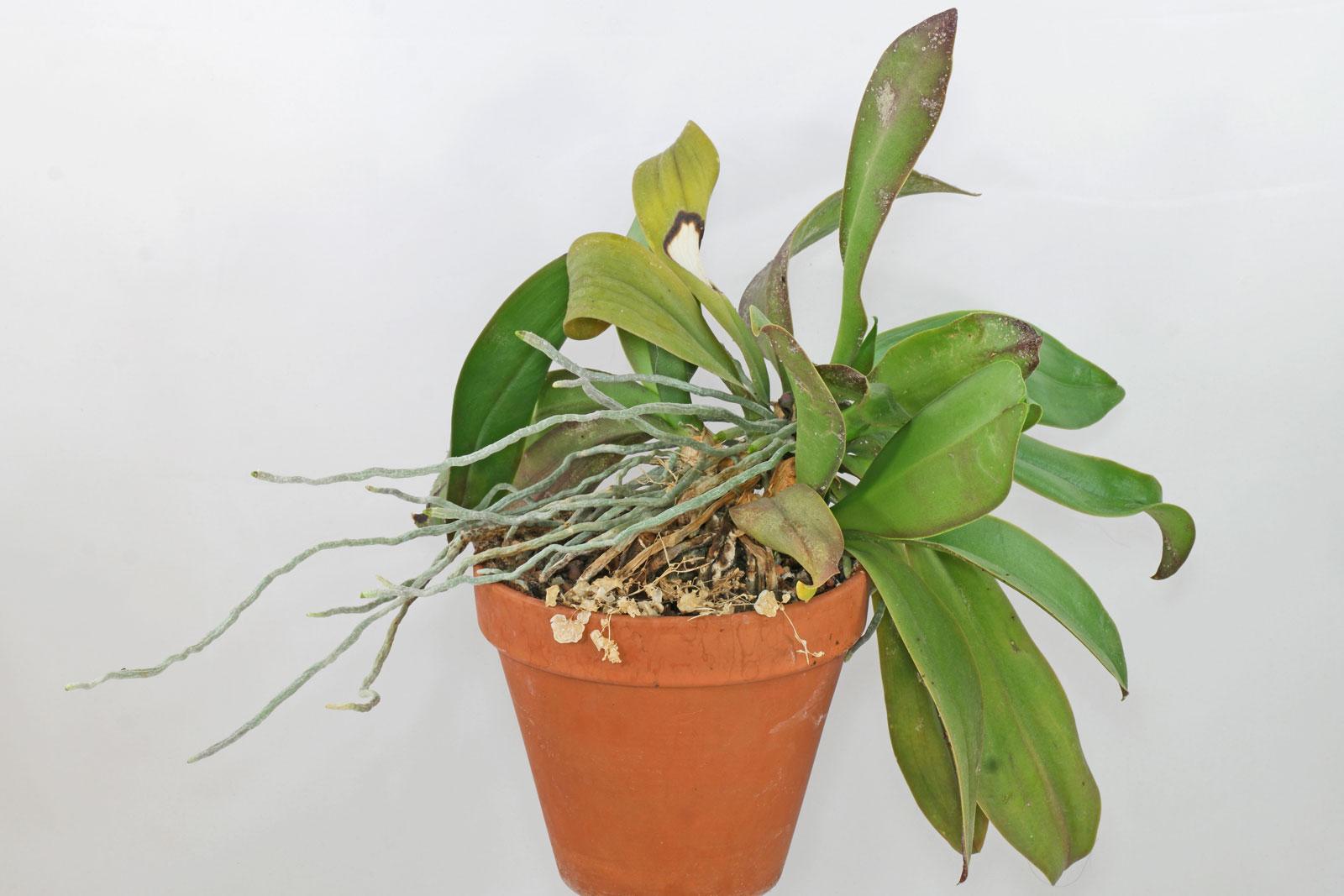 Orchidee in Blumenerde