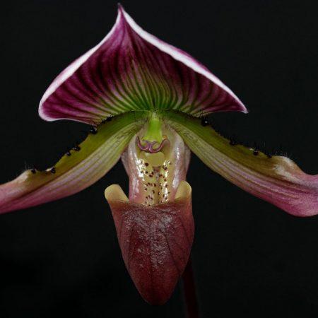 Paphiopedilum callosum Thailandense