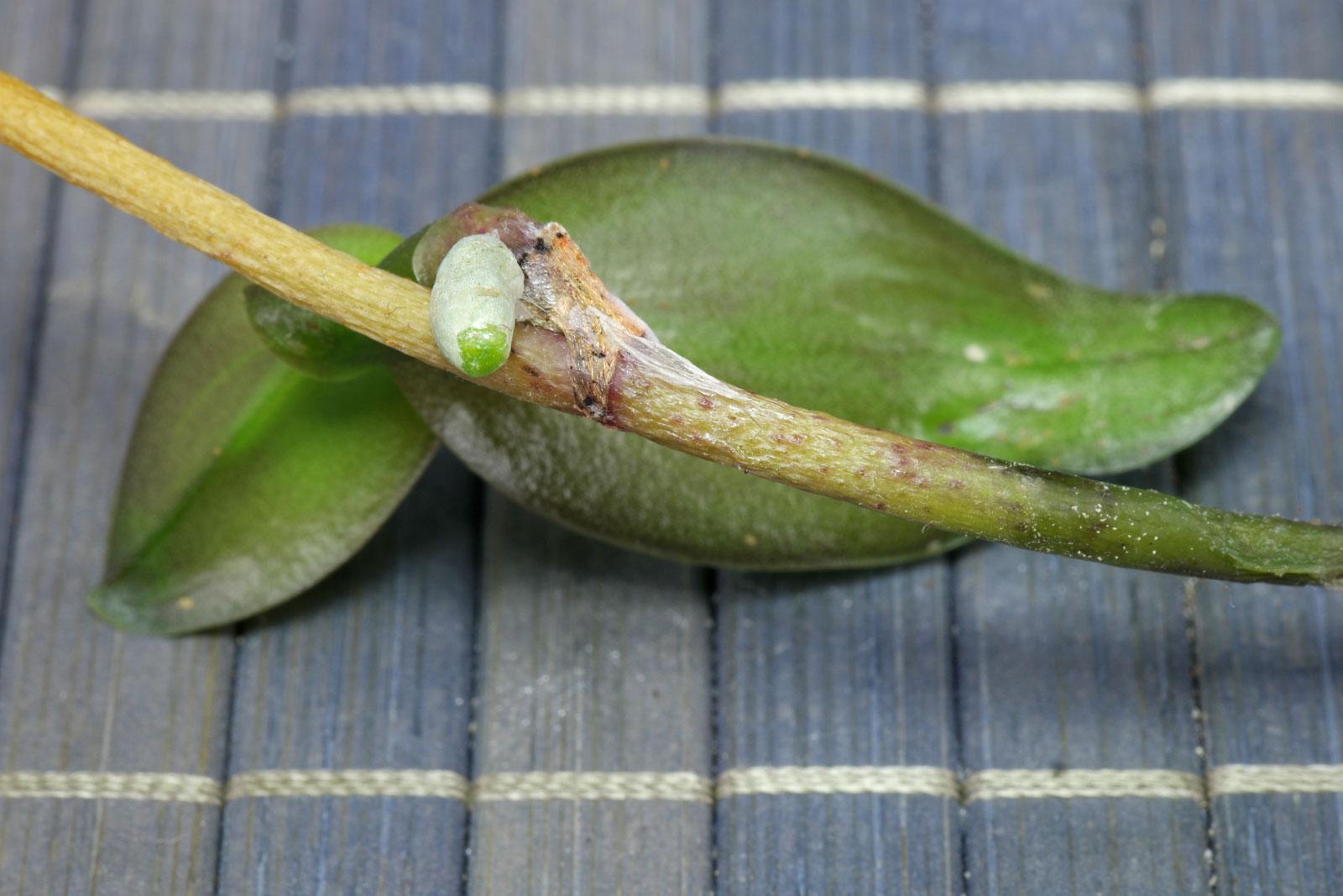 Phalaenopsis-Ableger