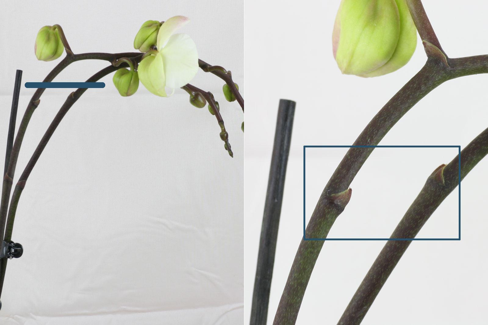 Phalaenopsis-Augen