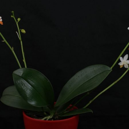 Phalaenopsis Mini Mark