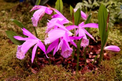 Pleione-Orchidee