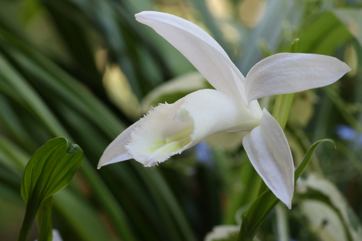 Pleione Snow White