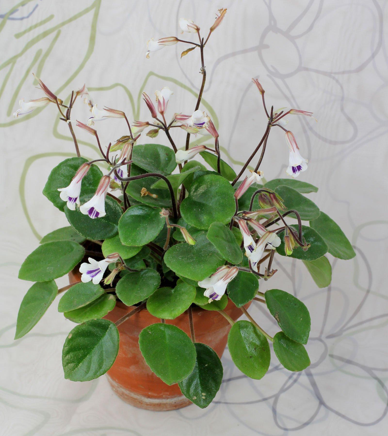 Primulina tamiana