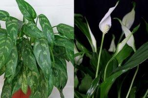 Guzmania hybriden - Schattenpflanzen zimmer ...