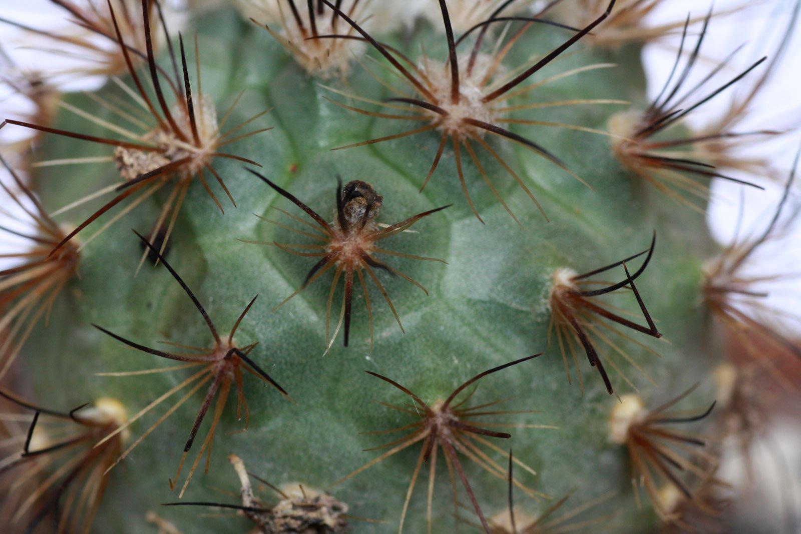 Turbinicarpus viereckii
