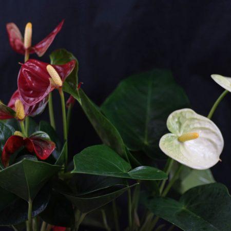 Anthurium cv