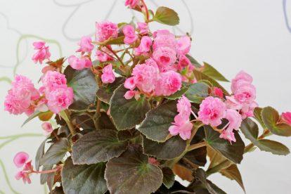 Begonia cv