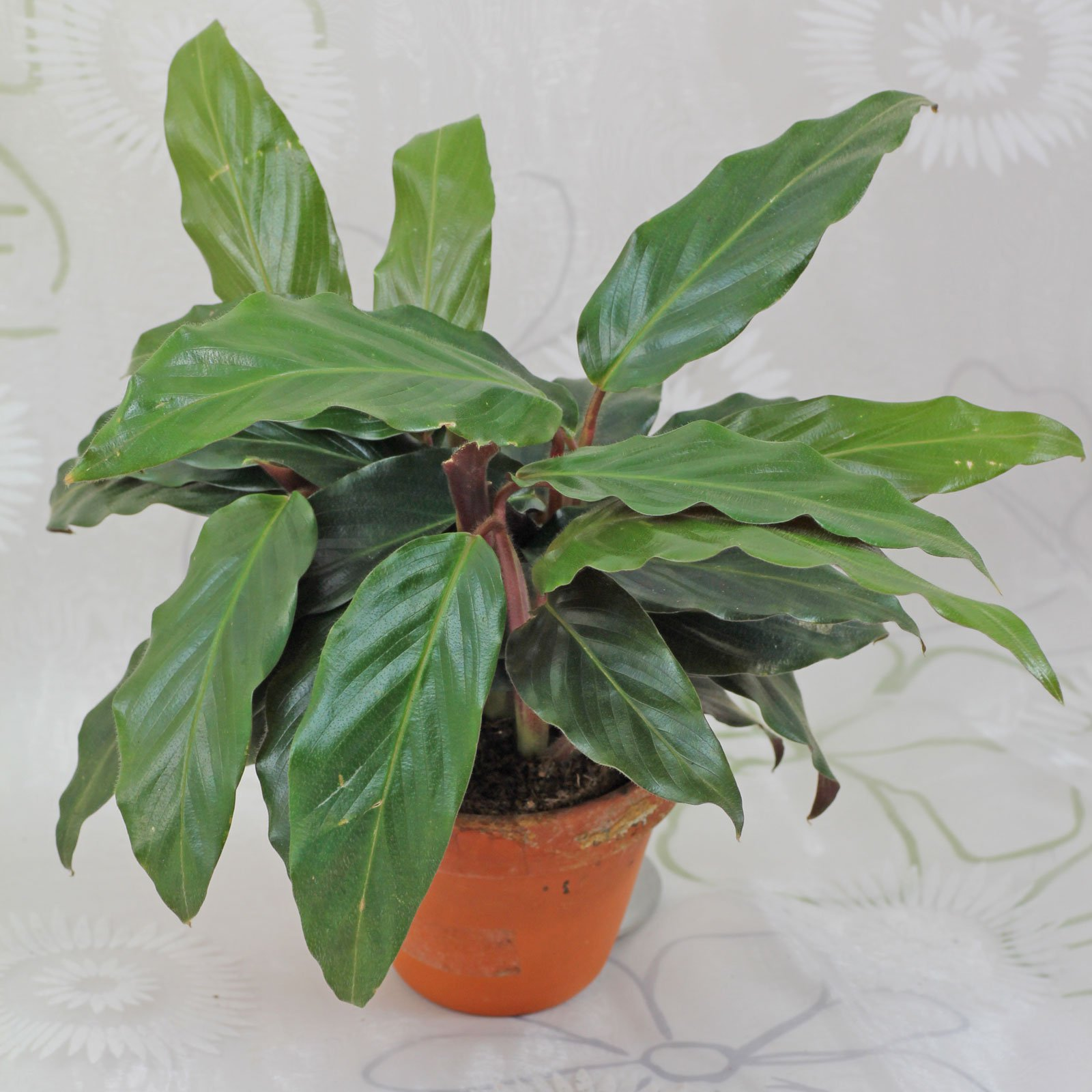 Calathea rufibarba Korbmarante