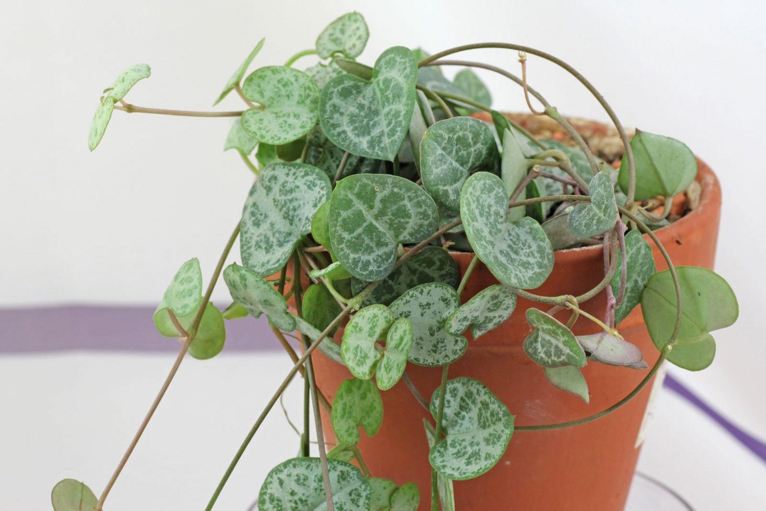 Ceropegia linearis ssp. woodii