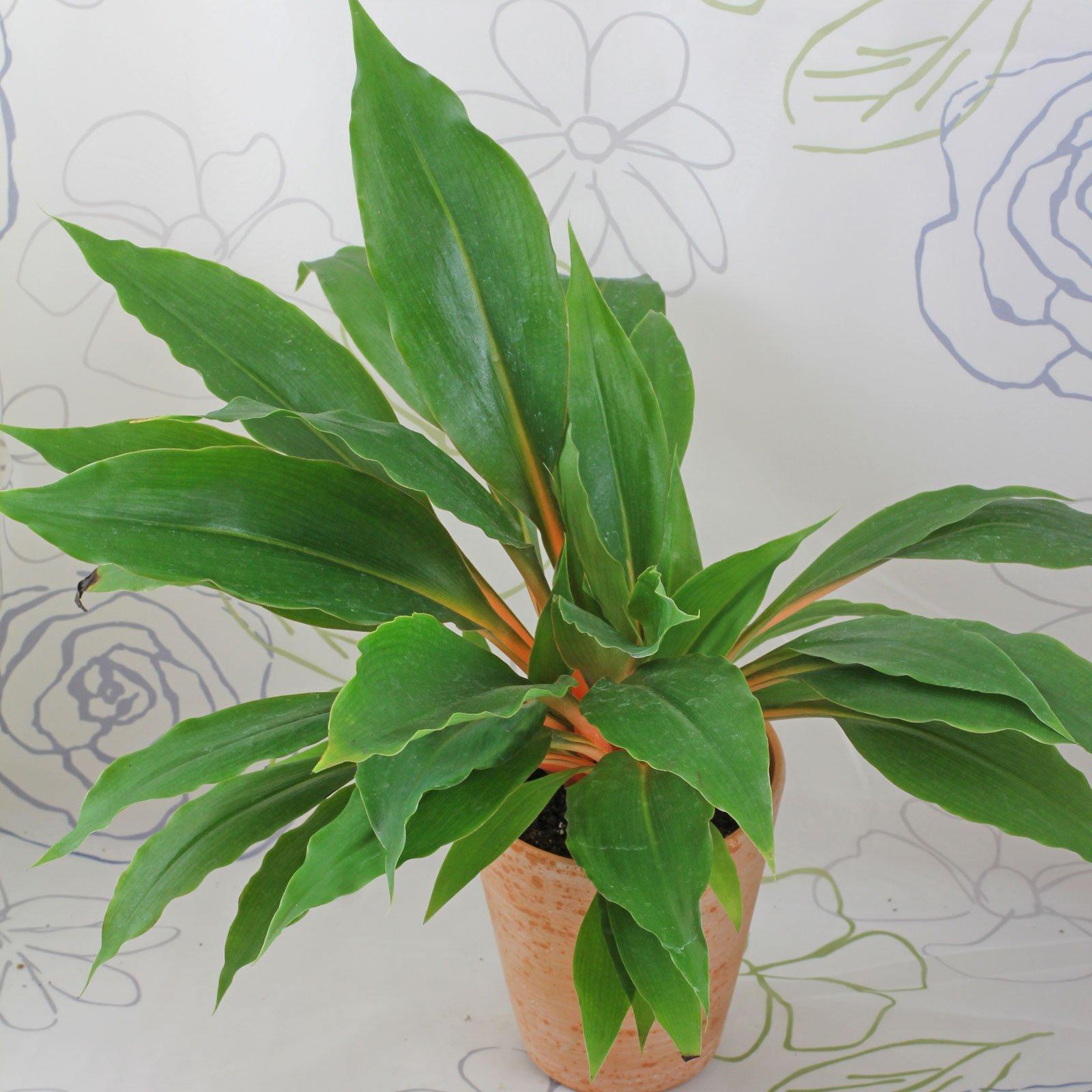 Chlorophytum orchidastrum