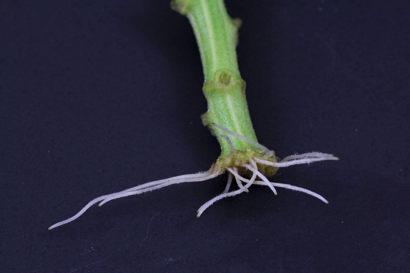 Chrysantheme Steckling