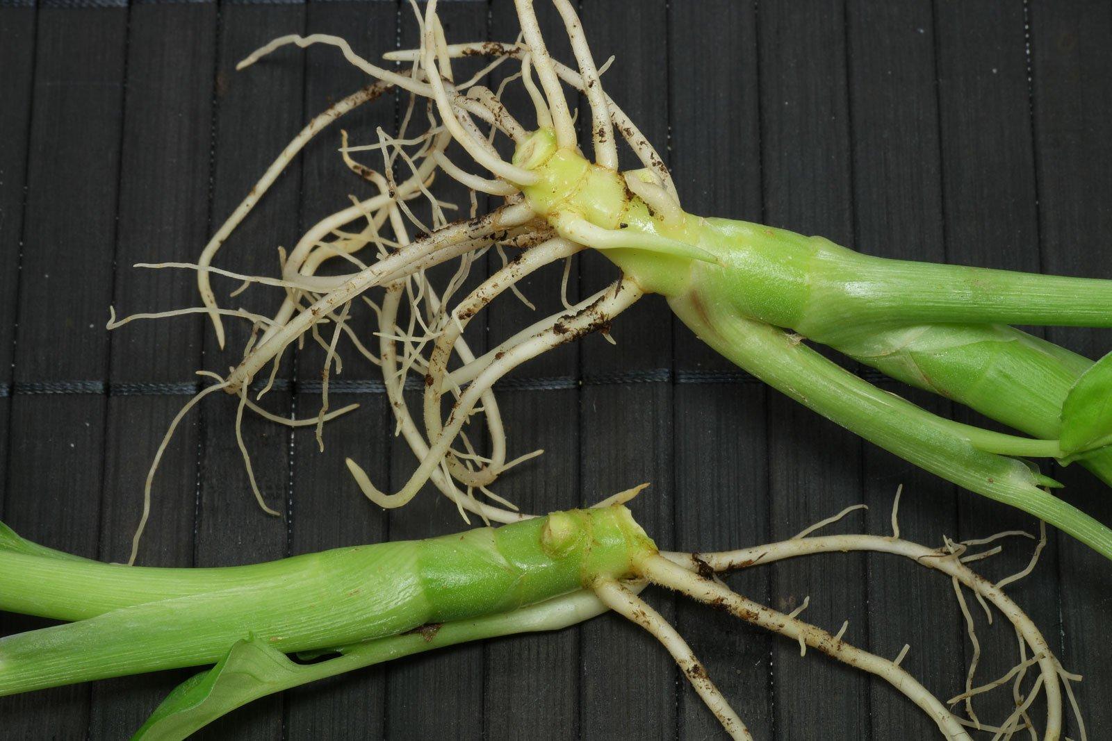 Dieffenbachia Stecklinge