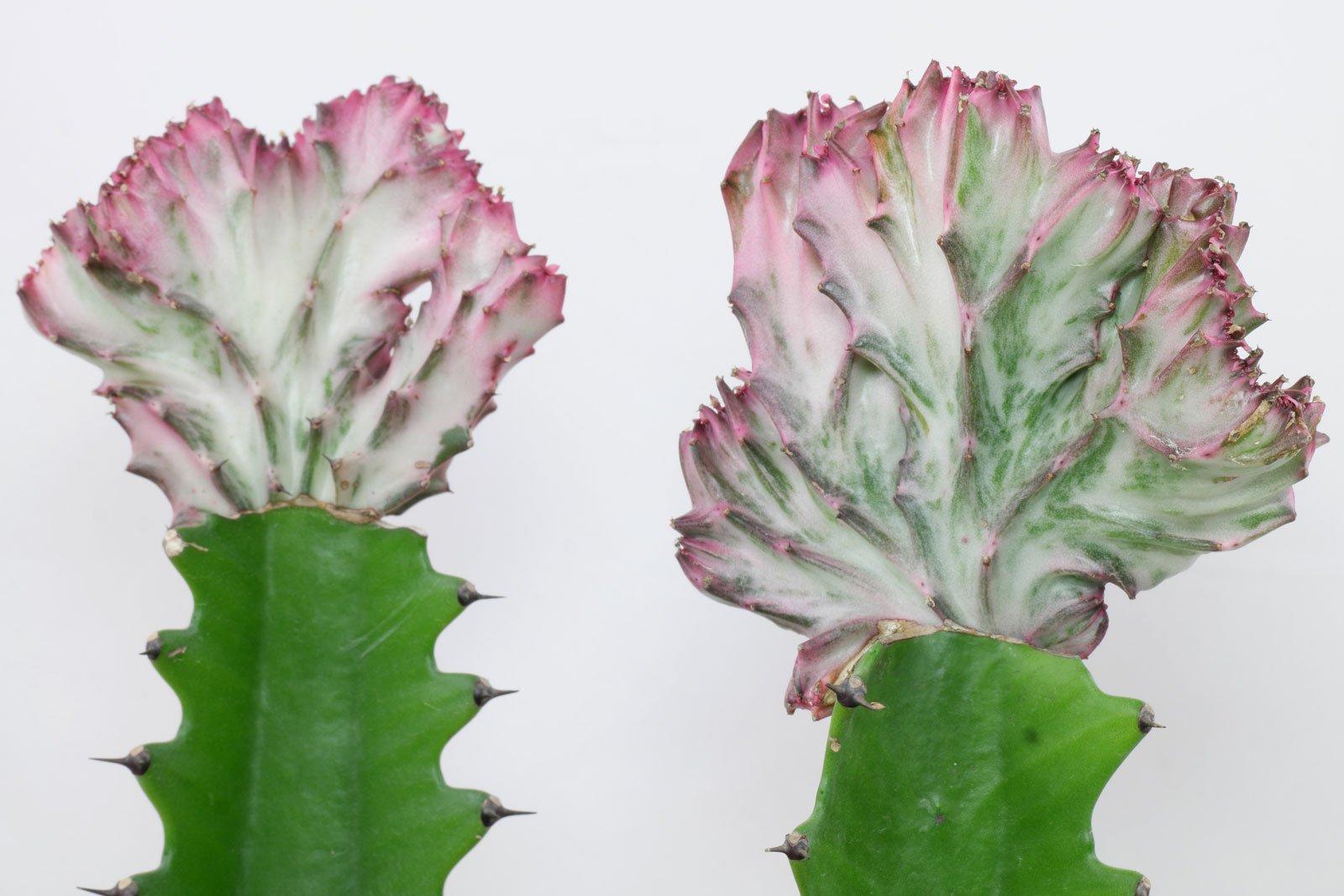 Euphorbia lactea Cristata