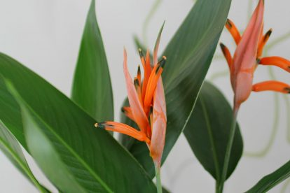 Heliconia psittacorum Blüten