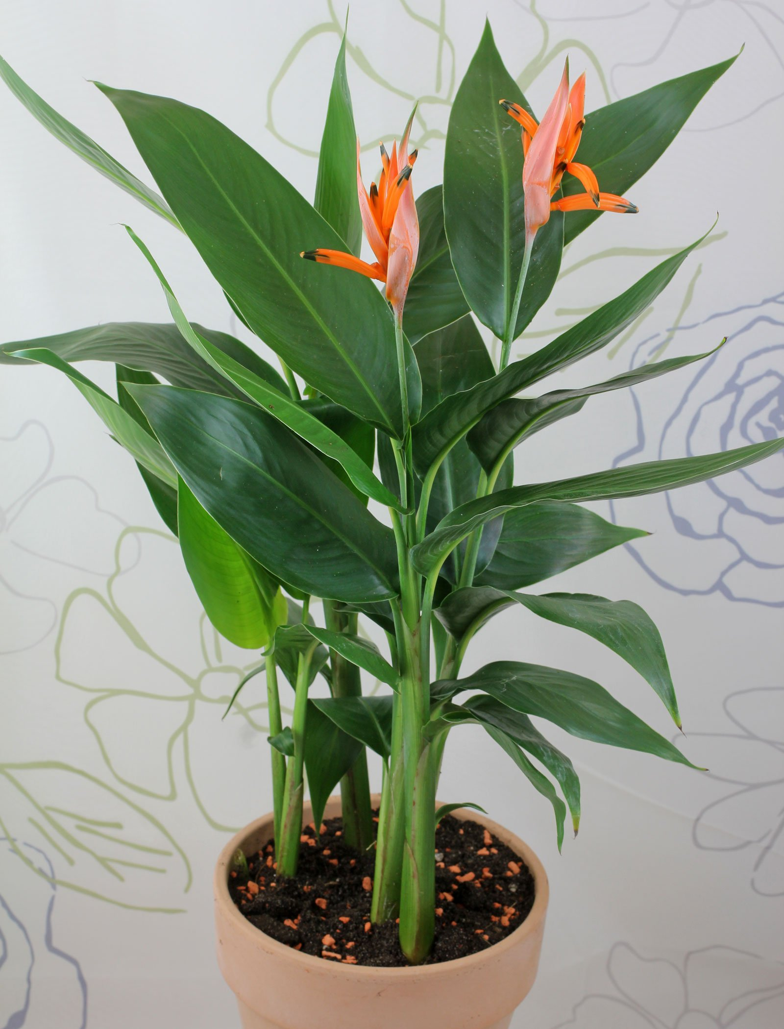 Heliconia psittacorum Olympic Dream