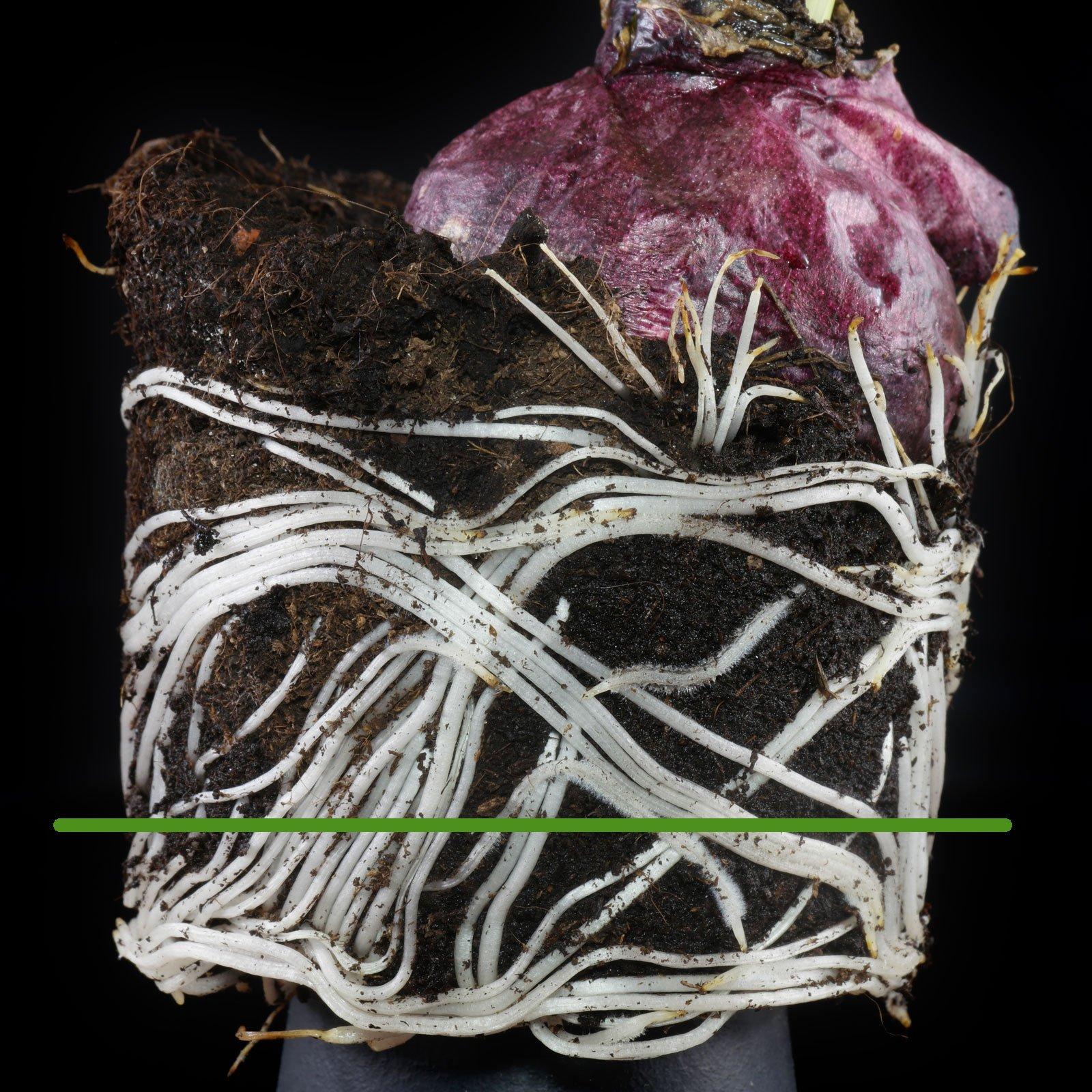 Hyazinthe Wurzeln