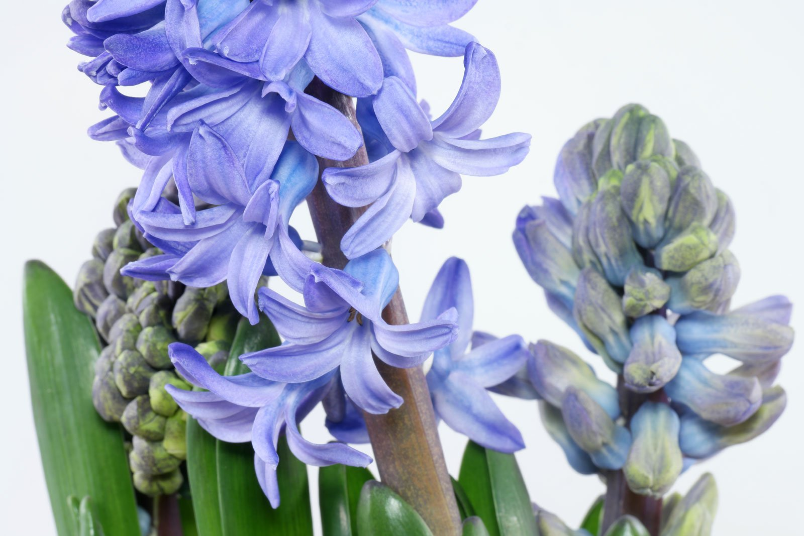 Hyazinthe blaue Blüten