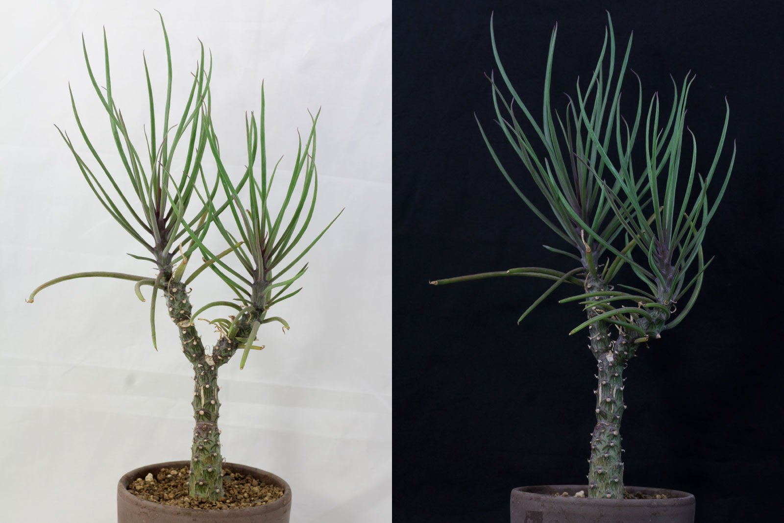 Kleinia patriciae ~ 26155015_Sukkulenten Überwintern Temperatur