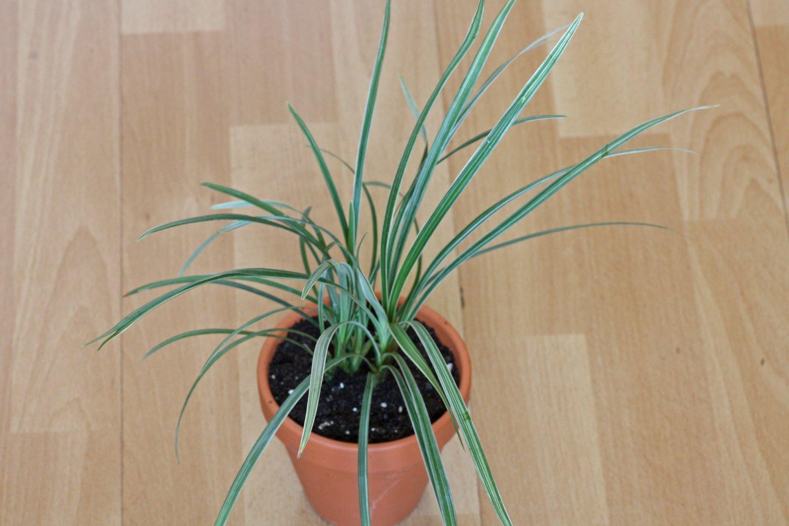 Ophiopogon jaburan