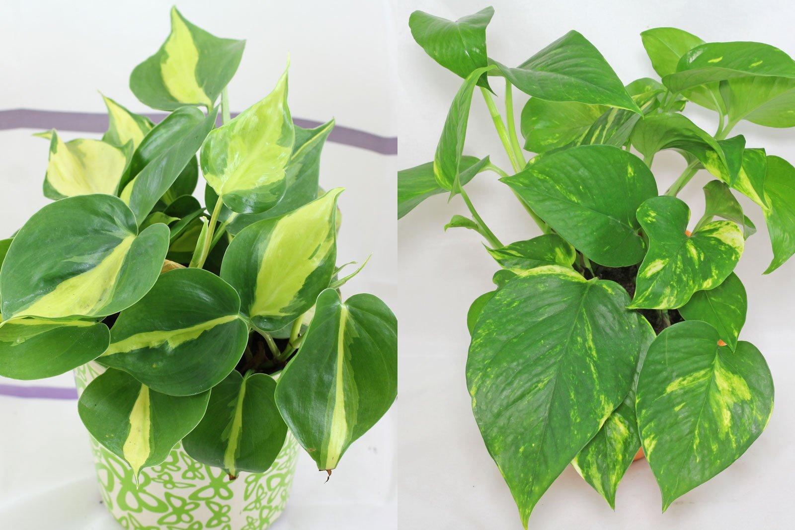 Philodendron Efeutute