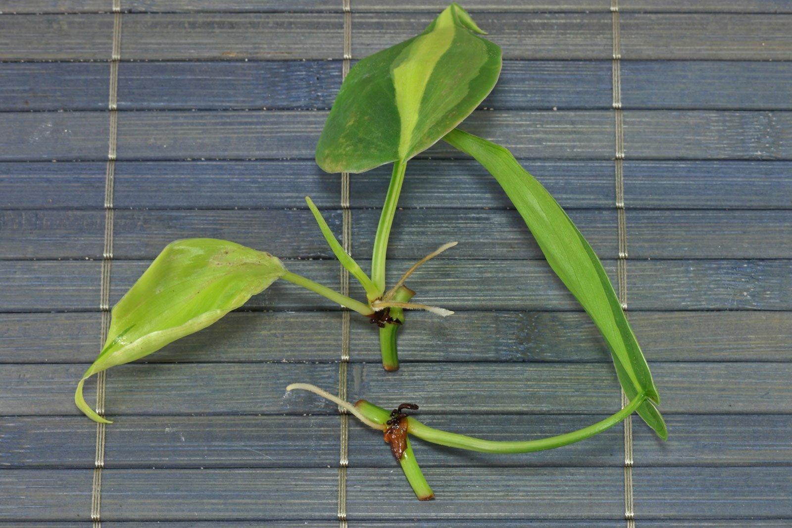 Philodendron Stecklinge