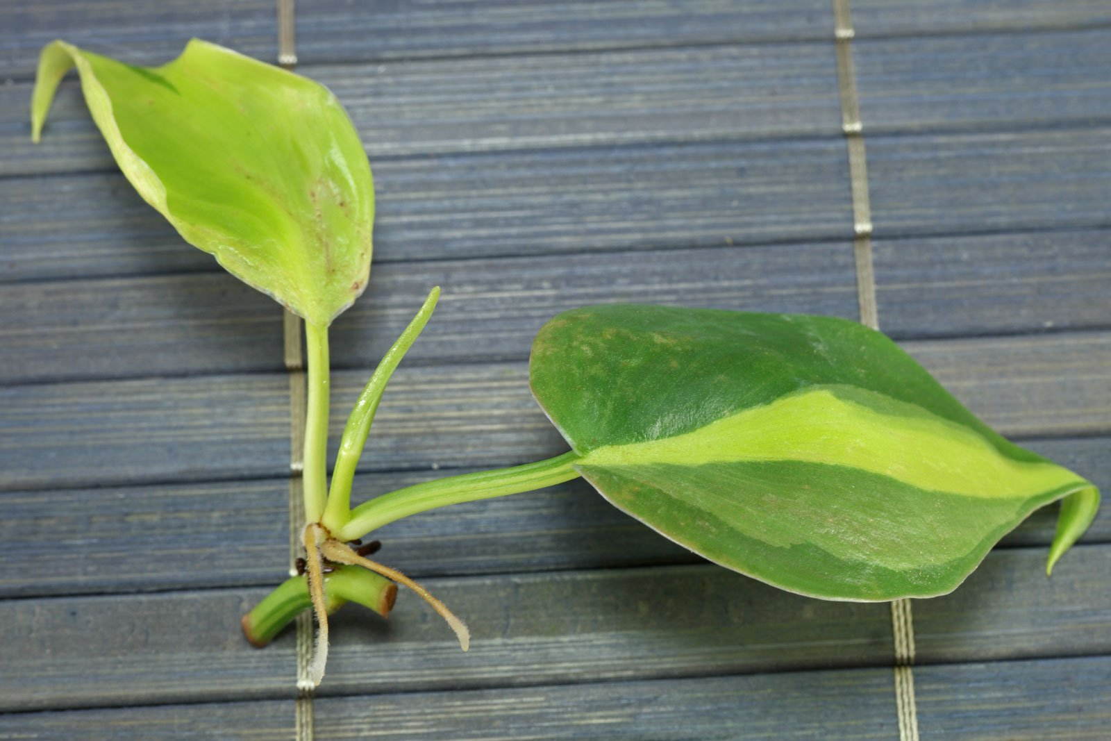 Philodendron hederaceum Steckling