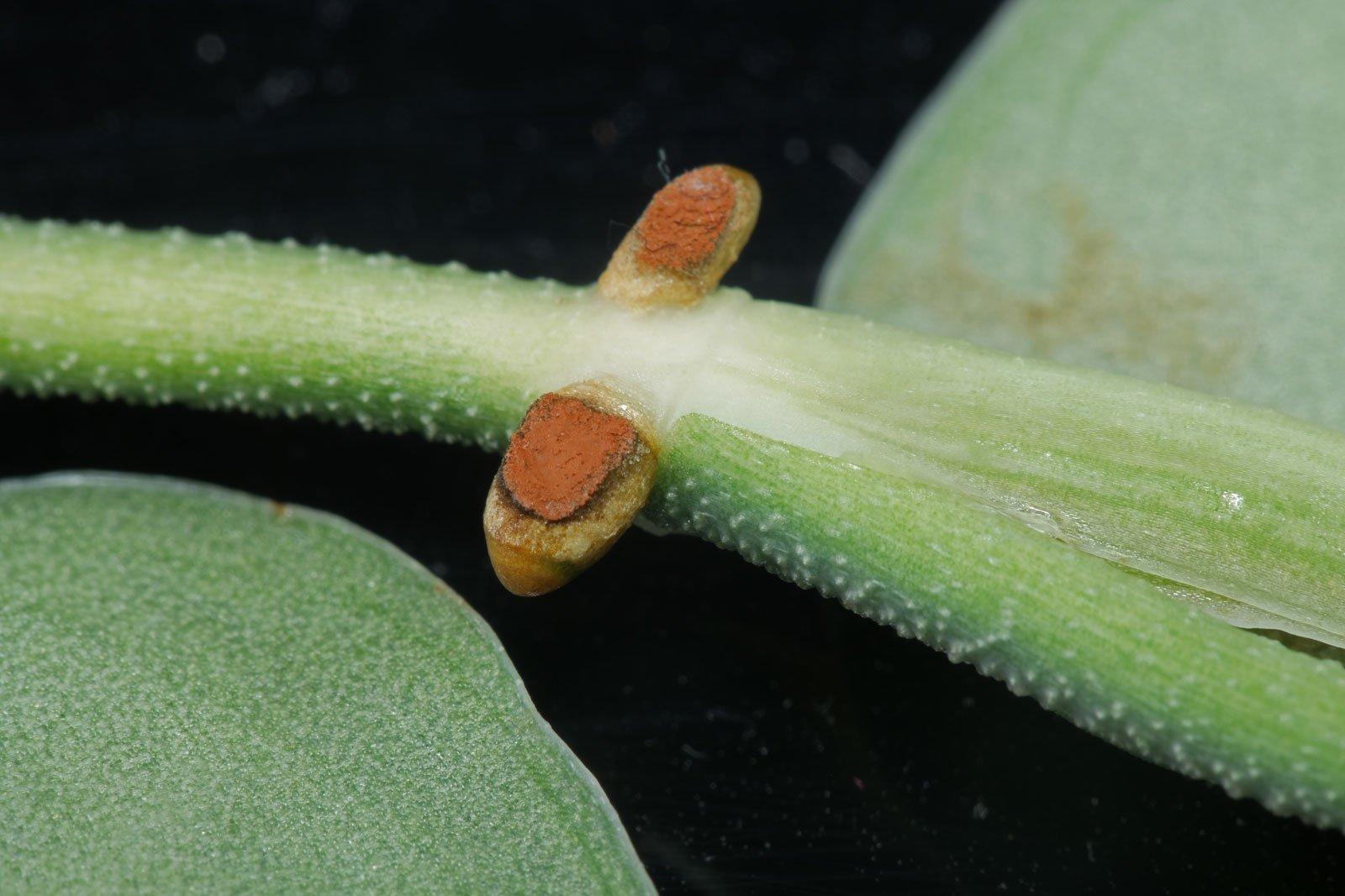 Scindapsus pictus Wurzeln