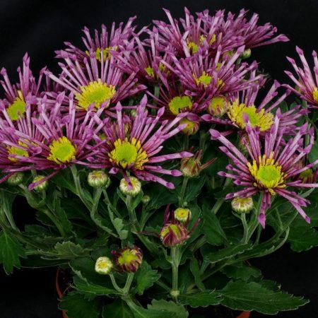 Spinnen-Chrysantheme