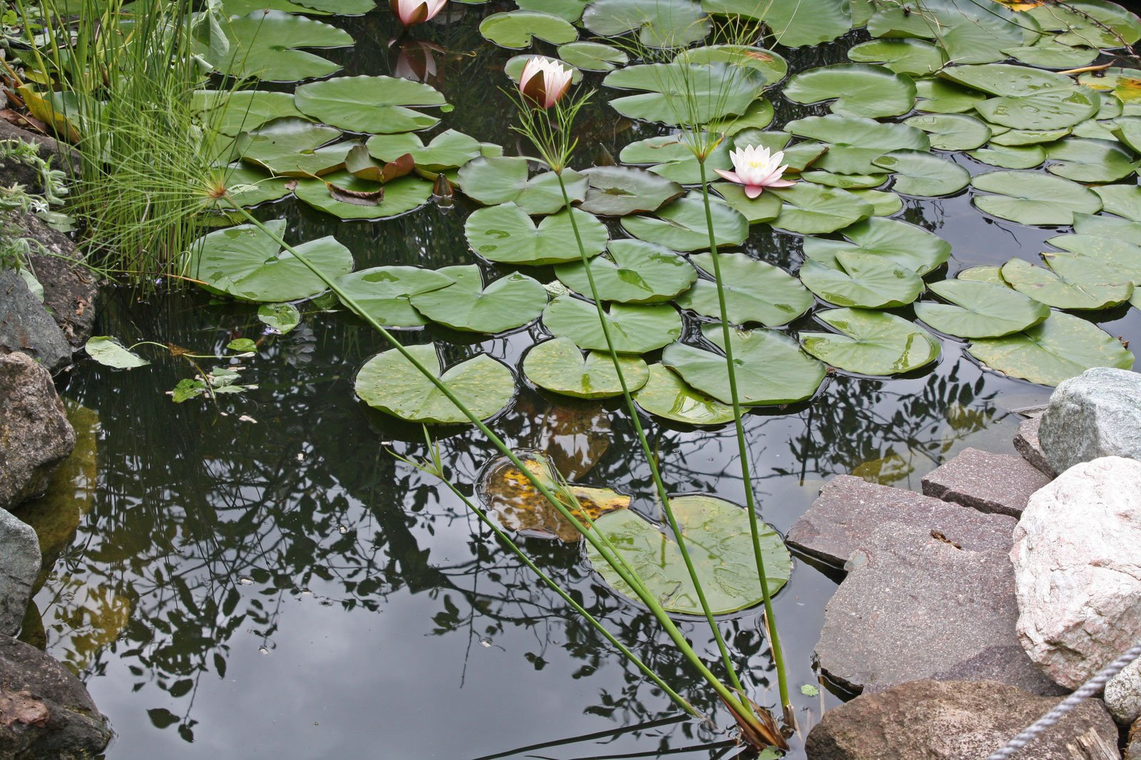 Zypergras im Teich