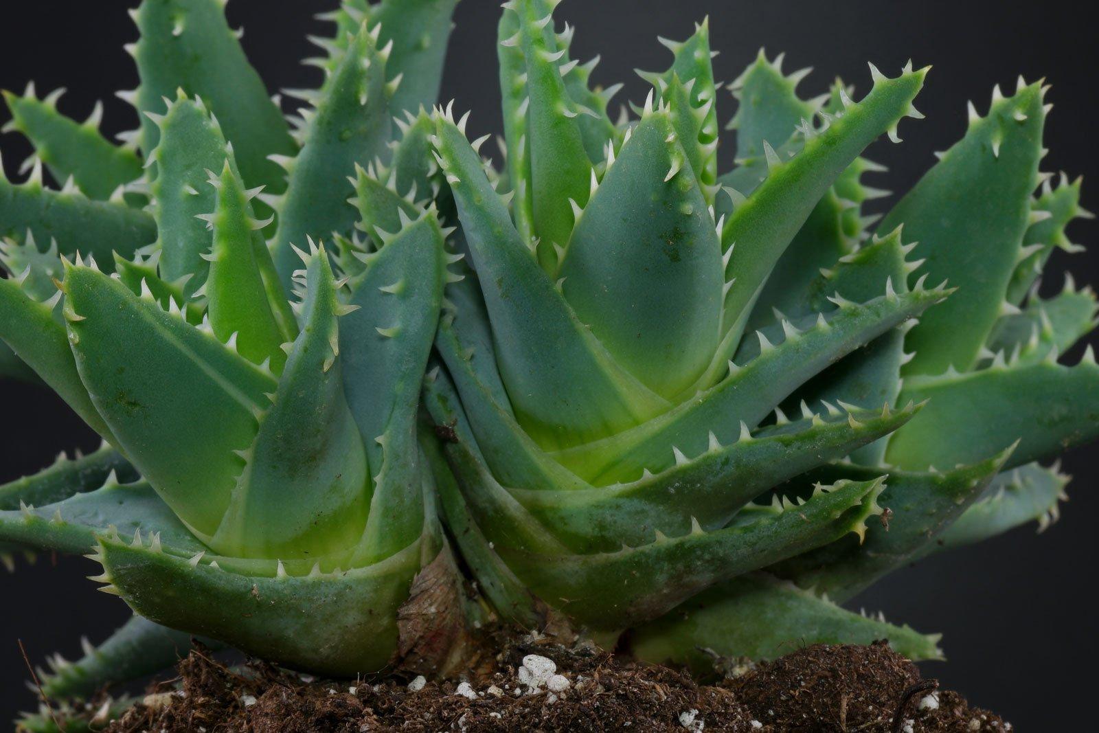 Kurzblättrige Aloe