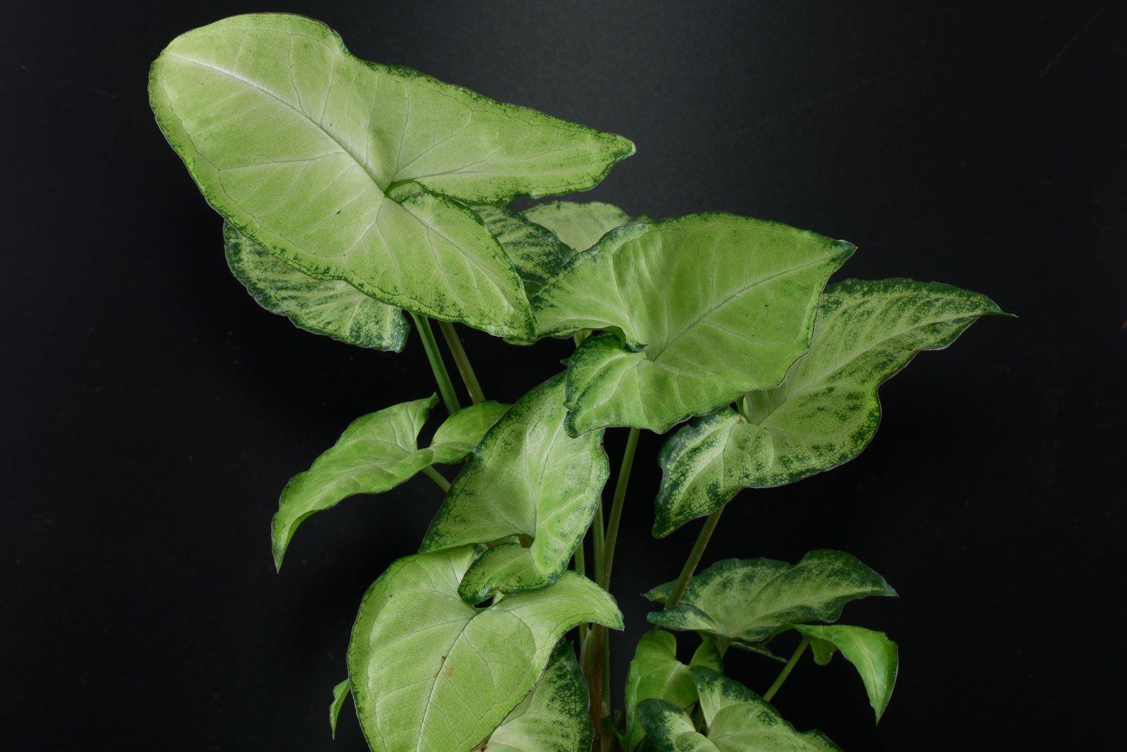 Syngonium podophyllum White Butterfly