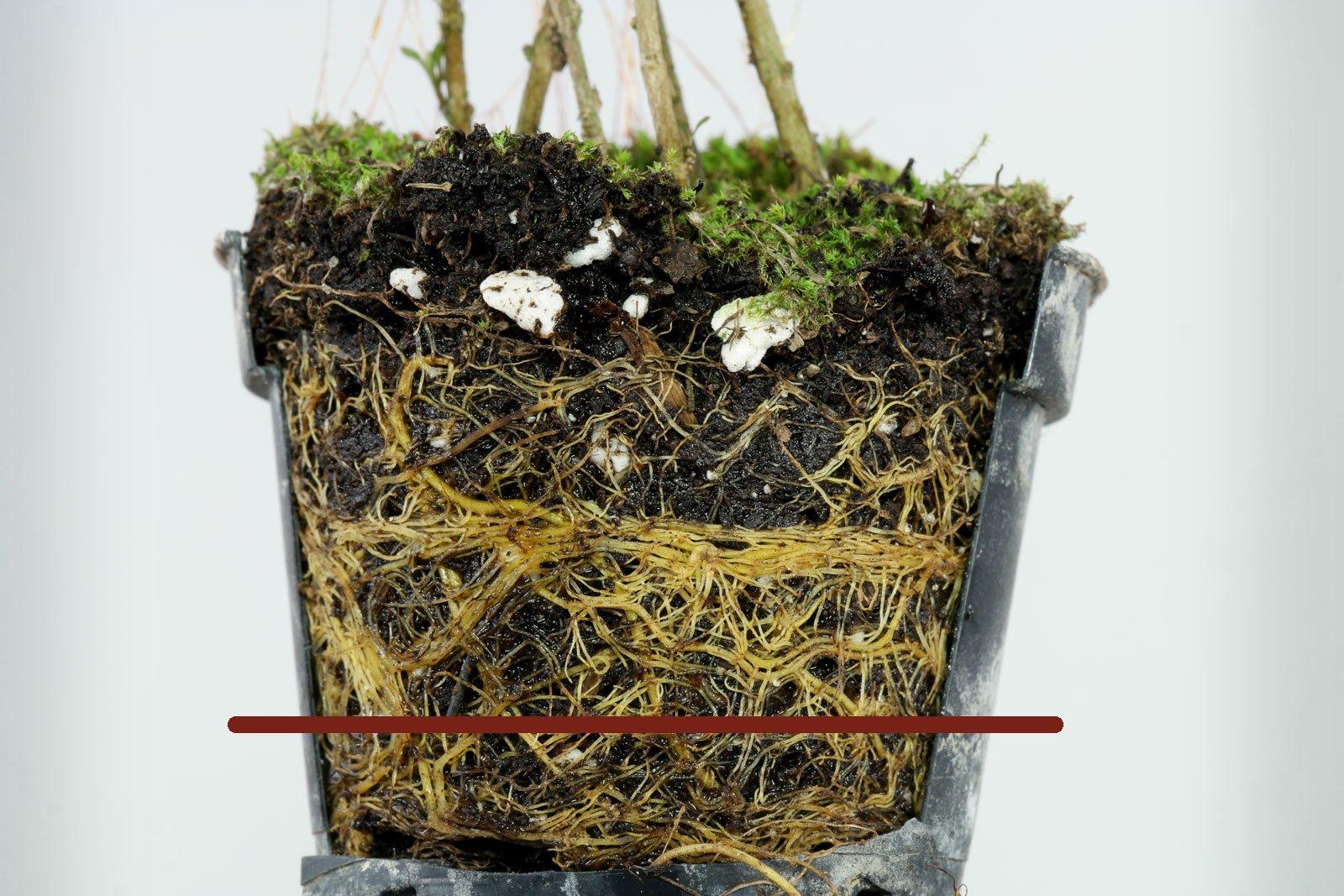 Coprosma virescens gießen