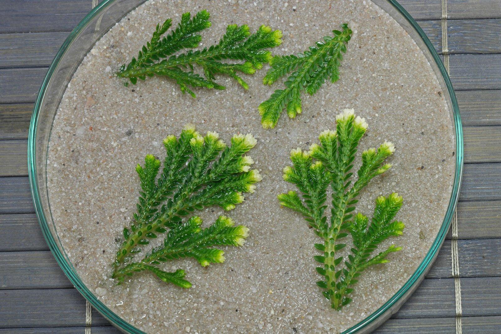 Selaginella martensii Stecklinge