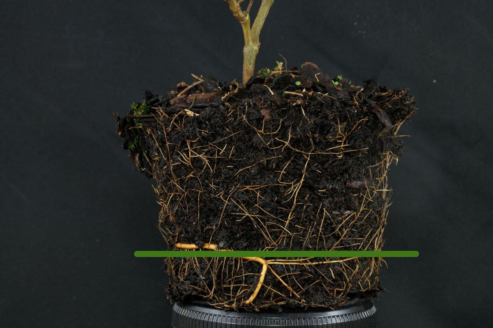 Schnurbaum (Sophora) gießen