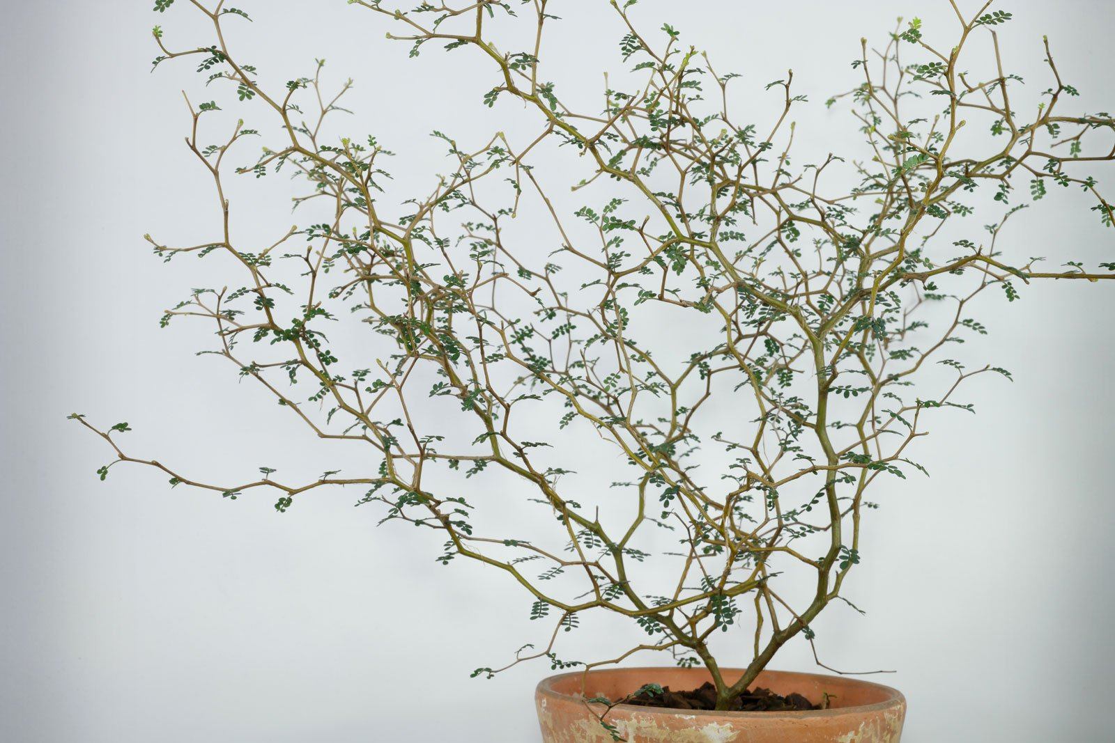 Sophora prostrata Little Baby