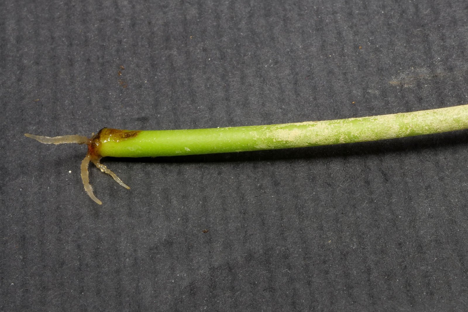 Ufopflanze Blattsteckling