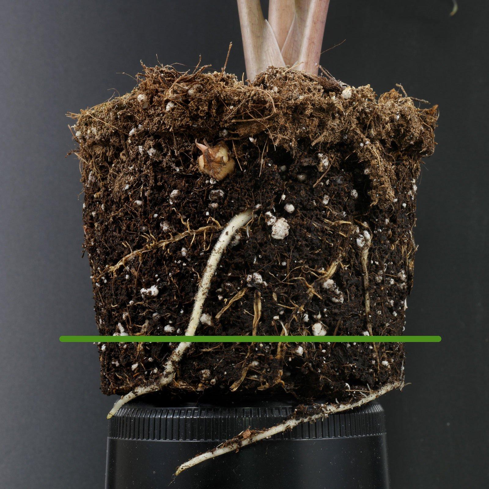Alocasia sanderiana gießen