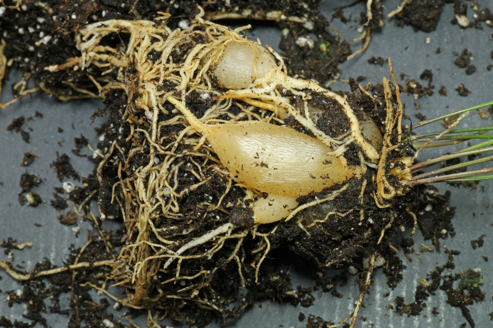 Asparagus densiflorus Knollenwurzeln