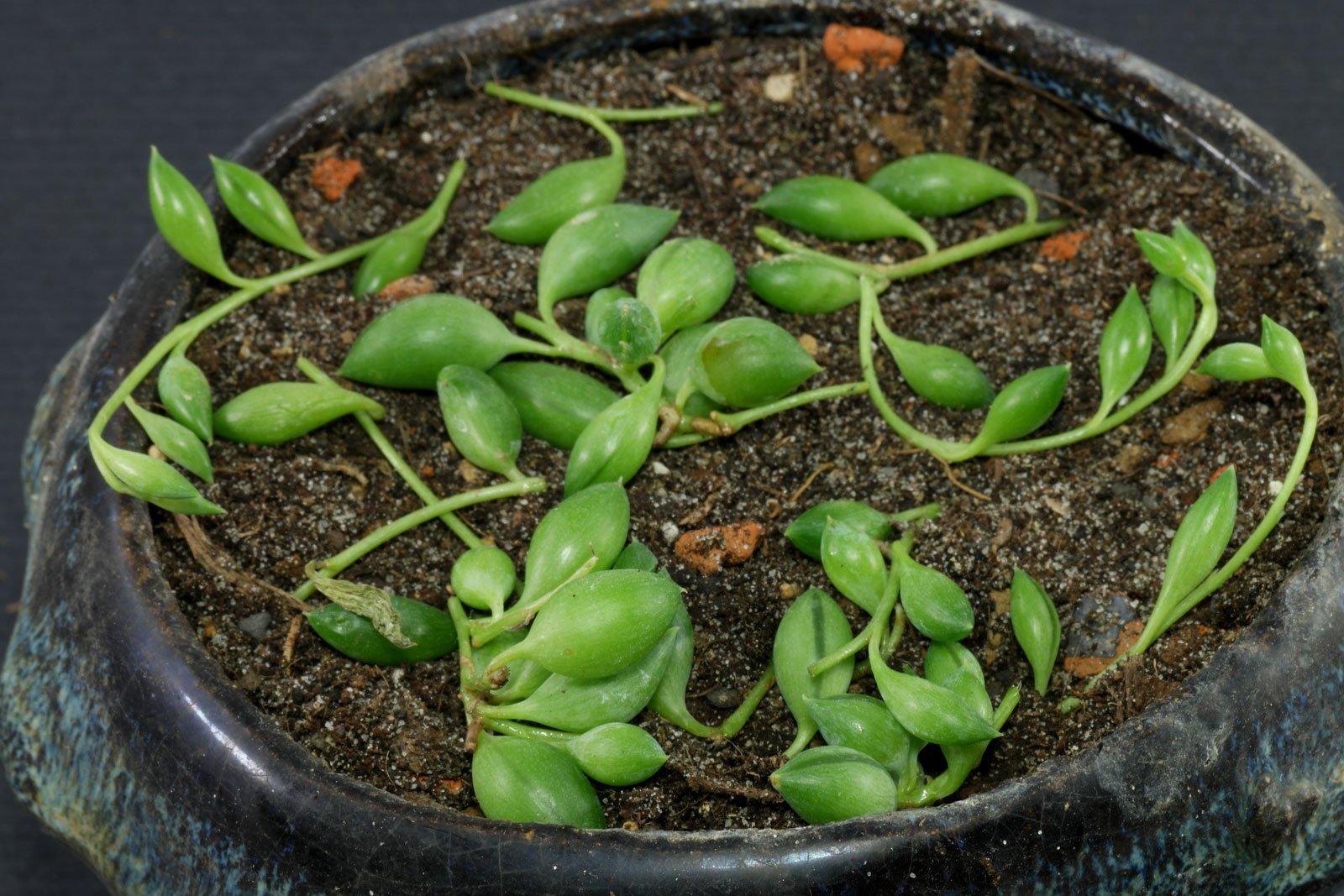 Erbsenpflanze Stecklinge